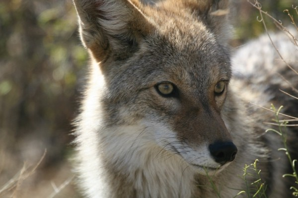 coyote-wildlife-nature-park-wild-canine-predator-1