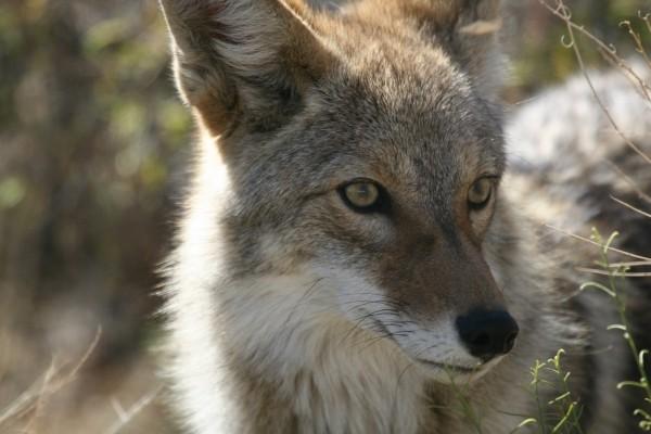 coyote-wildlife-nature-park-wild-canine-predator-1