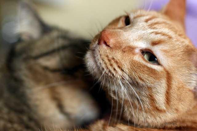 茶トラとキジトラの猫たちの写真